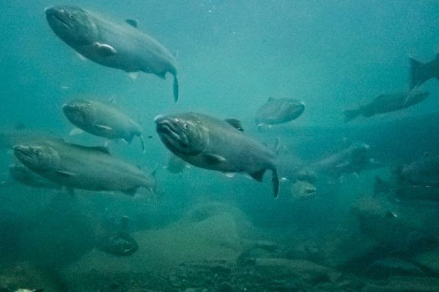 Coho underwater1 small